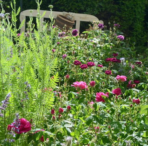 Historischen Rosen im Garten Rosenwind