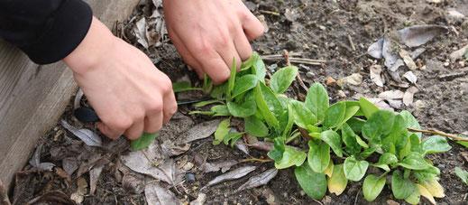 Kind bei Spinaternte im Schulgarten