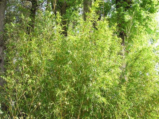 BU211F084_«Bambous2» par Moumousse13 — Travail personnel. Sous licence CC BY-SA 3.0 via Wikimedia Commons - https://commons.wikimedia.org/wiki/File:Bambous2.JPG#/media/File:Bambous2.JPG