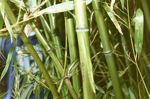 """""""Bamboo"""". Licensed under CC BY-SA 2.0 via Wikimedia Commons - https://commons.wikimedia.org/wiki/File:Bamboo.jpg#/media/File:Bamboo.jpg"""