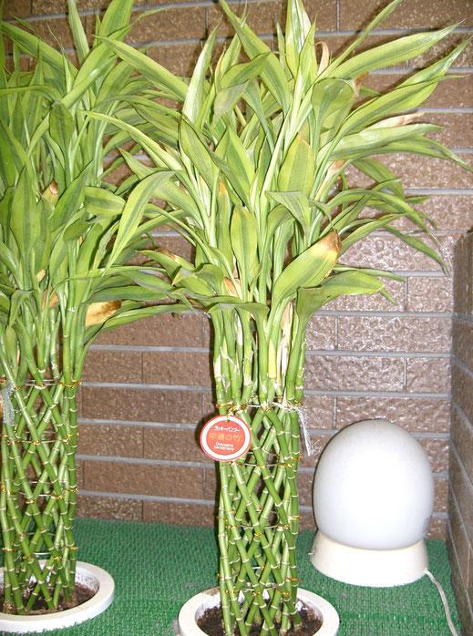 «Dracaena sanderiana1» par KENPEI — KENPEI's photo. Sous licence CC BY-SA 3.0 via Wikimedia Commons - https://commons.wikimedia.org/wiki/File:Dracaena_sanderiana1.jpg#/media/File:Dracaena_sanderiana1.jpg