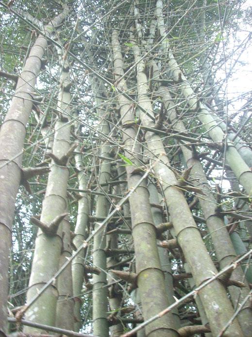 BU211F028_«Bamboo 004» par Manojk — Travail personnel. Sous licence CC BY-SA 3.0 via Wikimedia Commons - https://commons.wikimedia.org/wiki/File:Bamboo_004.jpg#/media/File:Bamboo_004.jpg
