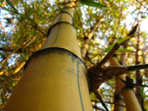 BU211F086_«Bambu-imperial-Detalhe» par Bruno da Silva Lessa — Feito por mim (I made this shot). Sous licence CC BY-SA 3.0 via Wikimedia Commons - https://commons.wikimedia.org/wiki/File:Bambu-imperial-Detalhe.jpg#/media/File:Bambu-imperial-Detalhe.jpg