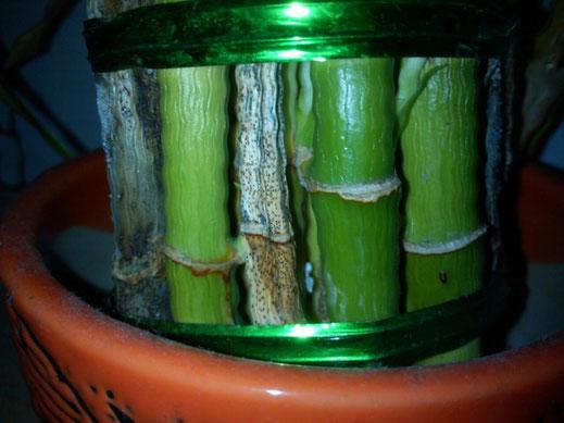 """Lucky bamboo decay""作者Carrotkit - 自己的作品。来自维基共享资源 - https://commons.wikimedia.org/wiki/File:Lucky_bamboo_decay.jpg#/media/File:Lucky_bamboo_decay.jpg根据公有领域授权"