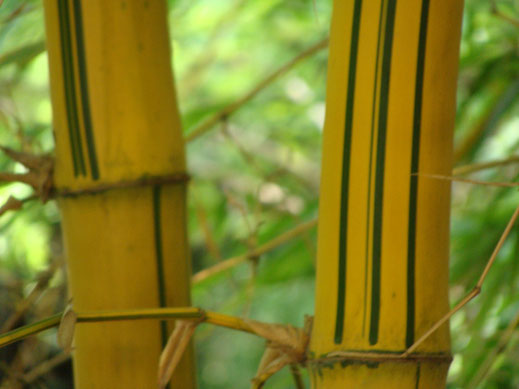 BU211F064_« Bamboo-2 » par Partheep — Travail personnel. Sous licence CC BY-SA 3.0 via Wikimedia Commons - https://commons.wikimedia.org/wiki/File:Bamboo-2.JPG#/media/File:Bamboo-2.JPG