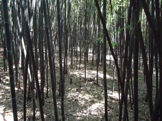 "80RO ""Bamboo forest at Rutgers University botanical gardens"" de Tomwsulcer - Operă proprie. Sub licență CC0 via Wikimedia Commons - https://commons.wikimedia.org/wiki/File:Bamboo_forest_at_Rutgers_University_botanical_gardens.JPG#/media/File:Bamboo_forest"
