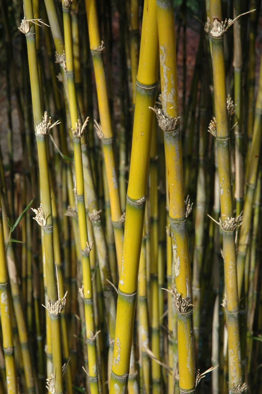 BU211F016_«Bamboo (3708256)» par Paul Friel — BambooUploaded by russavia. Sous licence CC BY 2.0 via Wikimedia Commons - https://commons.wikimedia.org/wiki/File:Bamboo_(3708256).jpg#/media/File:Bamboo_(3708256).jpg