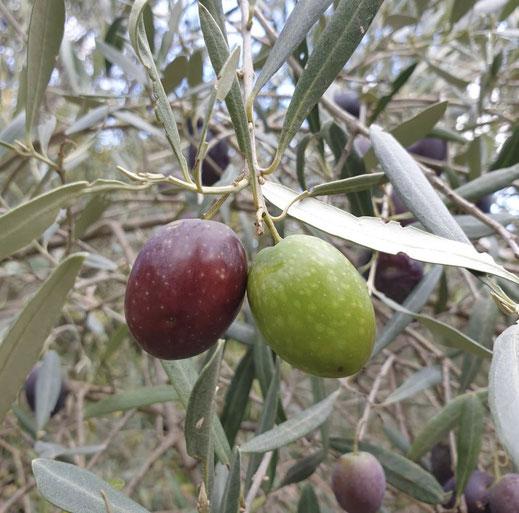 Oliven Öl Extravergine Olivenöl Trebur BIO Olivenöl Kaufen Kaltgepresst günstig Kaufen Pietrolio Olivenöl Trebur beste Olivenöl kaufen kaltgepresst