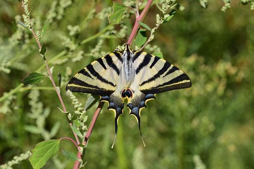 I. feisthamelii lotteri f. autumnalis, femelle, Aïn-Leuh, septembre 2017, ©Frédérique Courtin