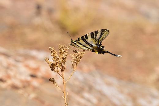 I. feisthamelii lotteri f. autumnalis, mâle, Azrou, septembre 2017, ©Frédérique Courtin-Tarrier