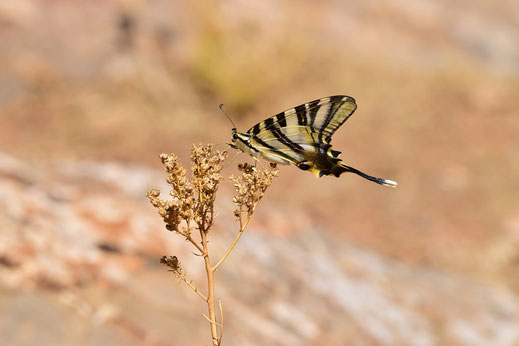 I. feisthamelii lotteri f. autumnalis, mâle, Azrou, septembre 2017, ©Frédérique Courtin