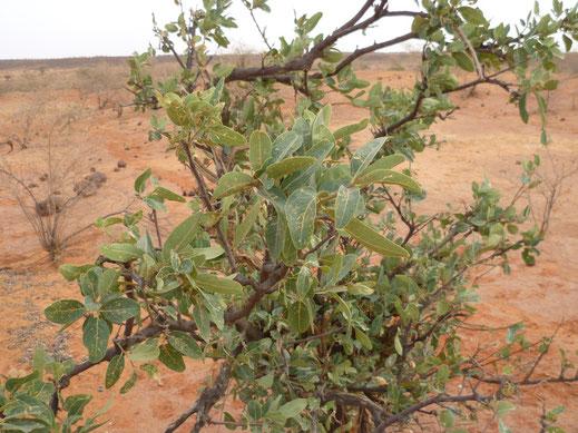 Boscia senegalensis, Niger, autre plante-hôte marocaine de Belenois aurota ©Tilman Musch