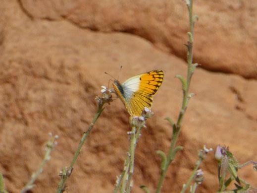 Mâle de Colotis chrysonome à Gueltat Zemmour © Annie Garcin