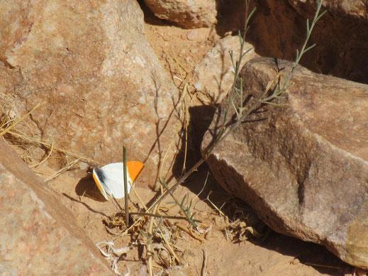 Mâle de Colotis liagore à Gueltat Zemmour © Annie Garcin