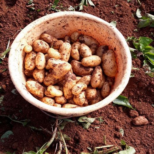 Pommes de terre nouvelle au printemps producteur les saveurs de Gâtine