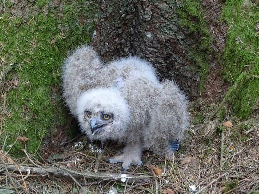 Dieser kleine Kerl war aus seinem Nest gefallen, mit Hilfe eines Profi-Kletterers wurde er wieder zurück gesetzt.