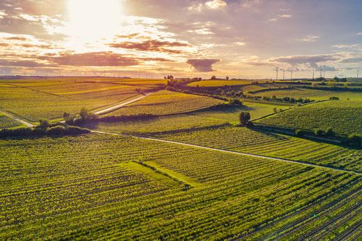Drohnenaufnahme von Weinbergen bei Worms in Rheinhessen