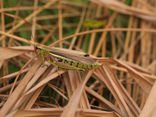 Auf der Roten Liste kletterte die Sumpfschrecke immer höher. Jetzt sind ihre Bestände wieder deutlich im Steigen begriffen - nicht zuletzt dank LBV-Flächenankäufenb wie in der Bischofsau. (c) Petra Altrichter