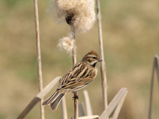 Die Rohrammer ist einer der Charaktervögel der Röhrichtbestände auf den LBV-Flächen. (c) Petra Altrichter