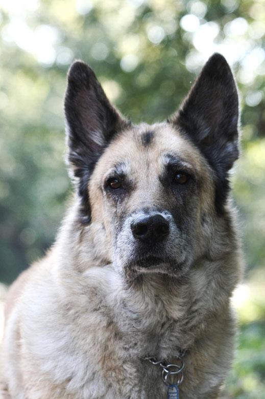 personalblog fotografie Hund tschechoslowakischer wolfshund