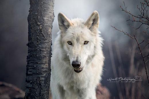 Wolfshund, Amerikanischer Wolfshund, Fotoshooting mit Wolfshund
