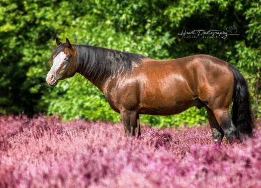 Pferde Fotografie, Pferdeshooting, Heideshooting, Pferde im Blumenmeer, Outdoorshooting, Pferde in der Natur, Deckhengst, Tierfotografie