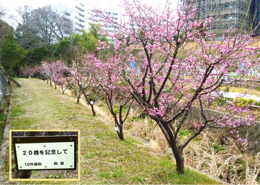 川沿いの紅梅たち・・梅の根元に点々と白く見えるのは記念看板。