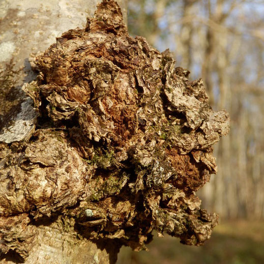 Radiant Reality Blog   5 Powerhouse Medicinal Mushrooms For Radiant Health   Chaga