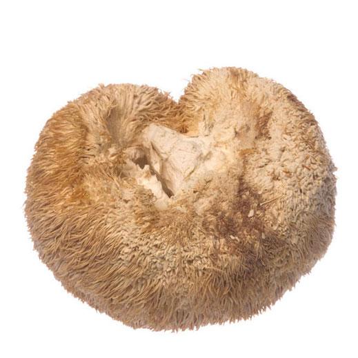 Radiant Reality Blog   5 Powerhouse Medicinal Mushrooms For Radiant Health   Lions Mane