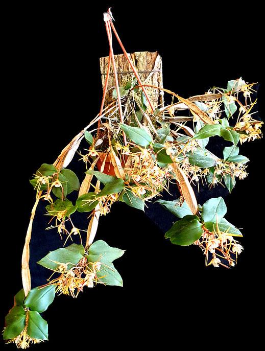 Dendrobium tetragonum x giganteum