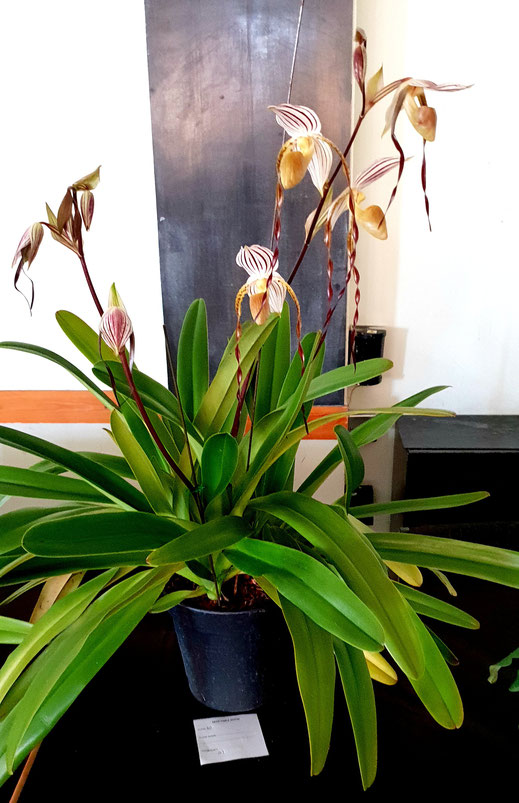 Paphiopedilum Edward of York by Weng Lim is the table show winner for May 2018