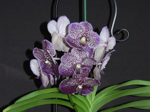 Vanda Exotic Purple