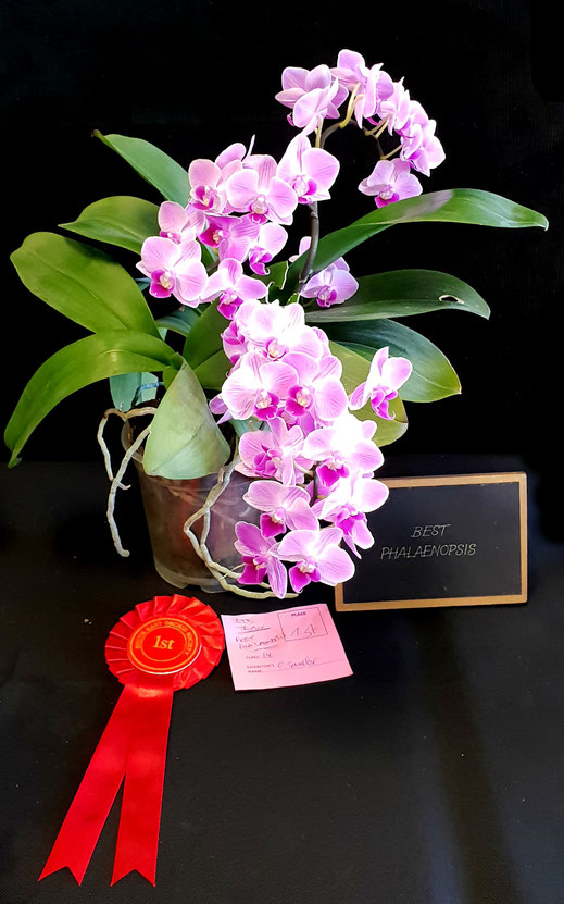 Best Phalaenopsis with this Phalaenopsis Hybrid won by Clara Sander at Autumn Show 2018 South East Orchid Society Ashford / Kent