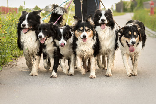 mehrere Hunde werden an der Leine geführt