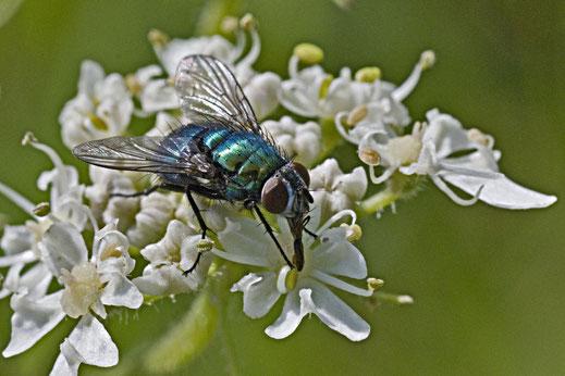 Een metallic blauwgroene, behaarde vlieg op het witte bloemenscherm van een Berenklauw