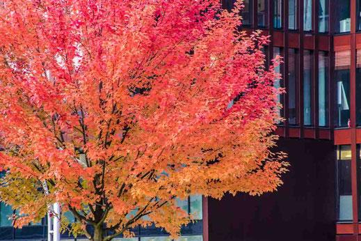 Baum Rotes Laub Hafencity Hamburg Gebaeude