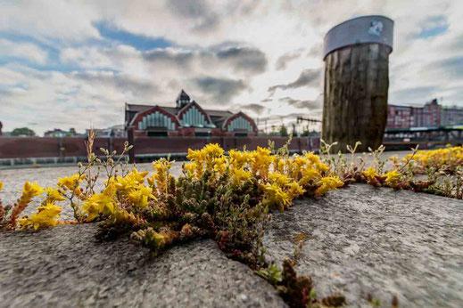 Pflanzen auf Stein bluehend gelb Deichtorhallen Hamburg