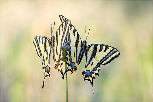 Papilioninae