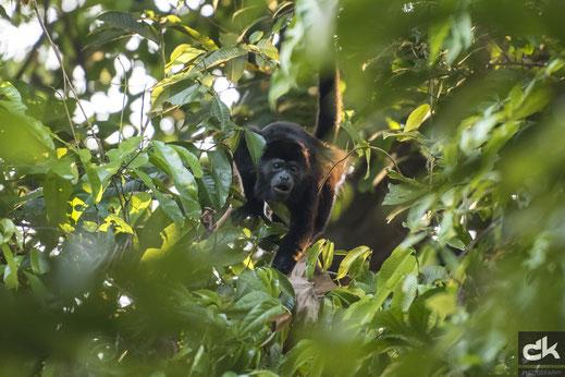 black howler in rainforest, Costa Rica (Nikon D810, march 2017)