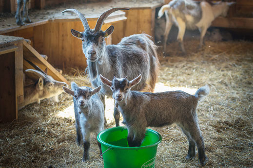 Ziegenmutter mit 2 Jungen
