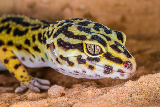 Leopardgecko - Eublepharis macularius - Zoo Saarbrücken