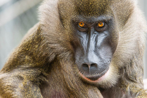 Drill - weiblich - Mandrills leucophaeus - Zoo Saarbrücken