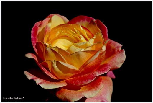 Rose automnale dans le parc de la tête d'or à Lyon