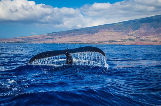 Azoren Walflunke