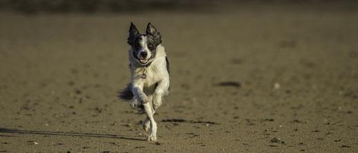 Ein Border Collie rennt über den Strand von Surville in der Normandie