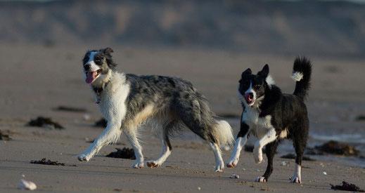 Urlaub mit Hund in der Normandie: Zwei Border Collies am Strand in der Normandie