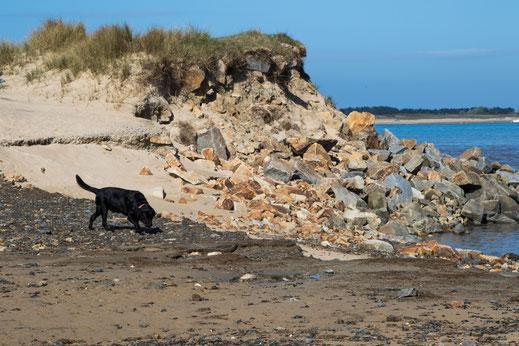 Ein Labrador am Strand von Montmartin-sur-Mer in der Normandie