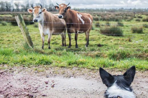 Plessis-Lastelle, Kühe, Marais, Border Collie, Urlaub mit Hund, Normandie