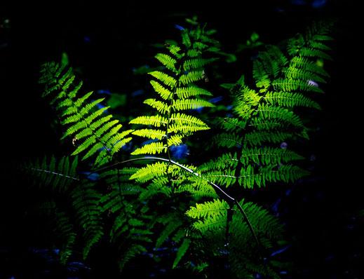 Ein Farn im Wald