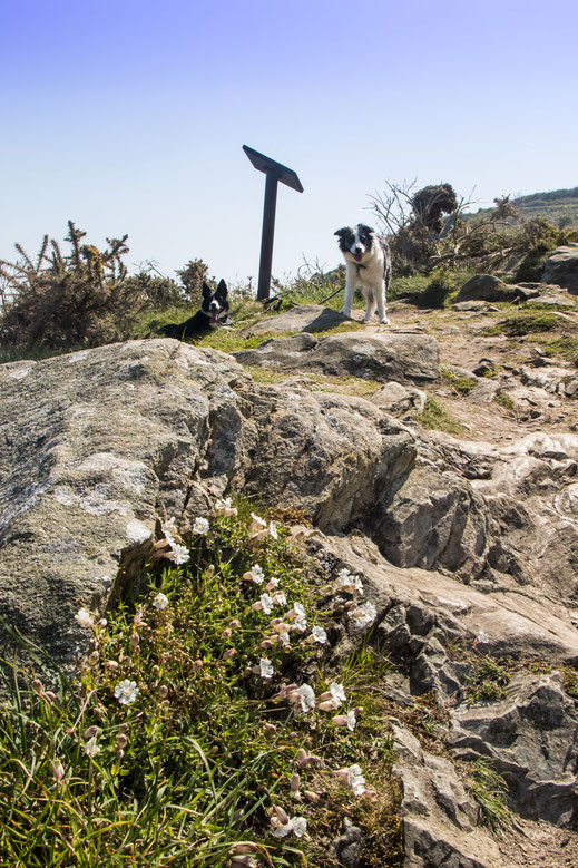 Zwei Border Collies auf dem Küstenwanderweg bei Greville